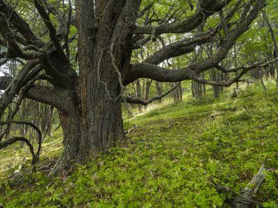Nothofagus Explora reserva conservación Torres del Paine National Park